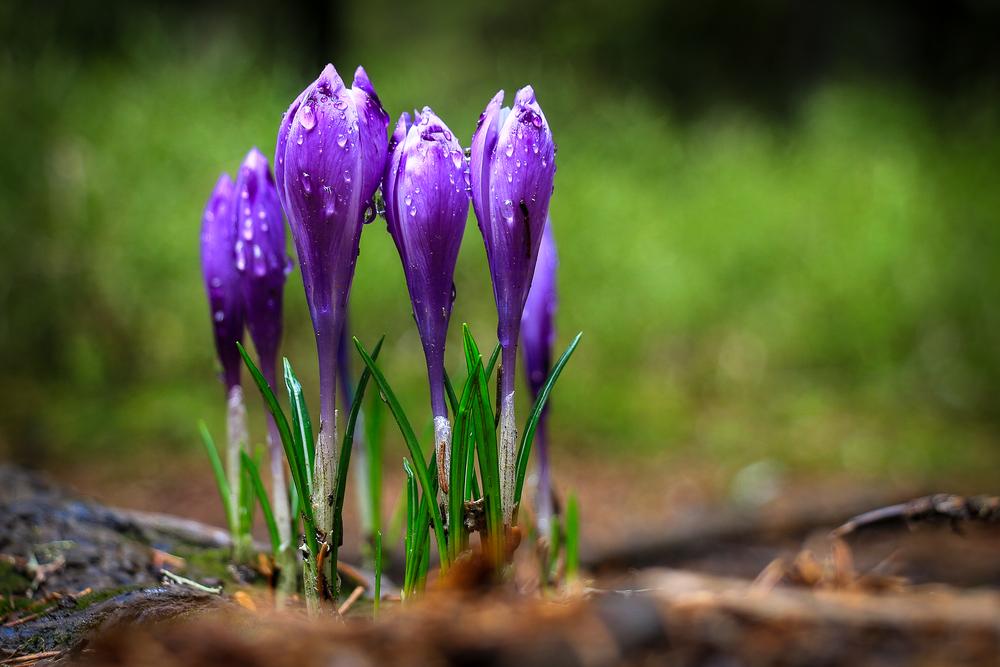 Bulbes crocus en fleurs violettes
