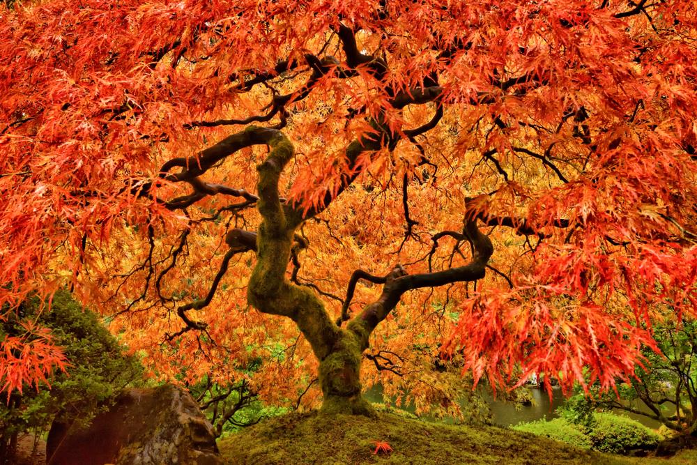 Érable du japon avec son feuillage d'automne