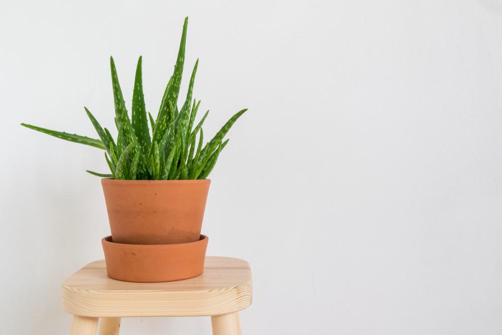 Aloe vera en pot sur un tabouret