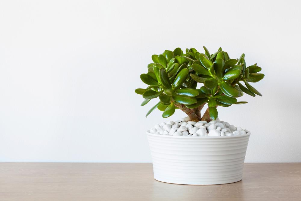 Arbre de jade dans un pot blanc devant un mur blanc