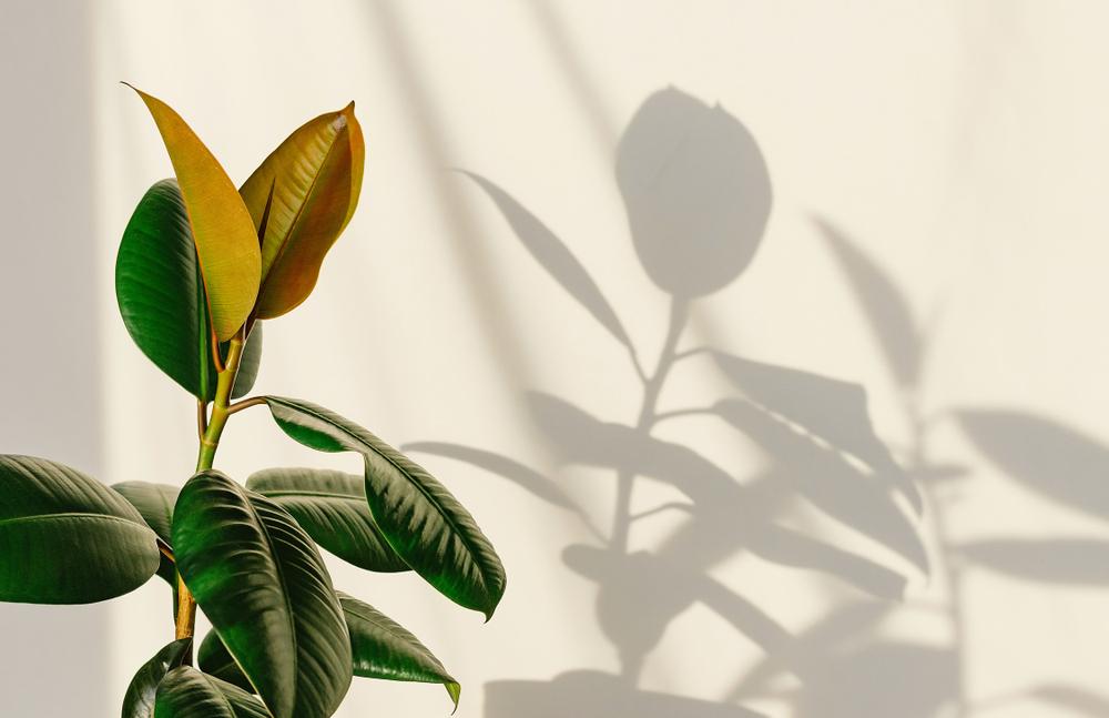 Ficus elastica avec ombre portée sur mur blanc