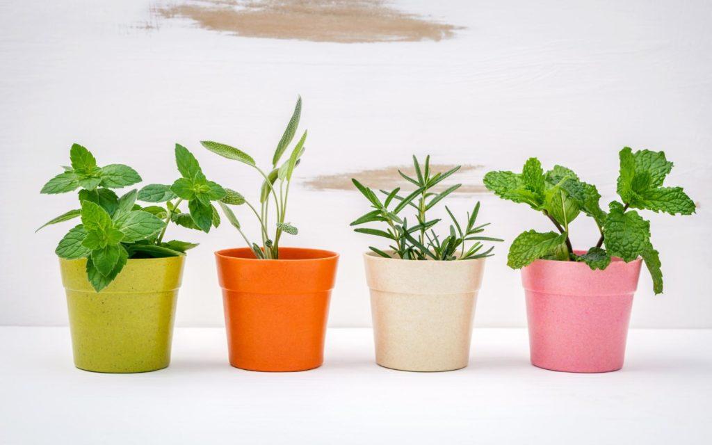 Menthe verte, menthe poivrée, sauge et romarin plantés en pot