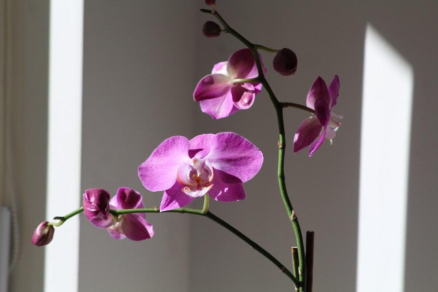 Orchidée phalaenopsis de couleur violette