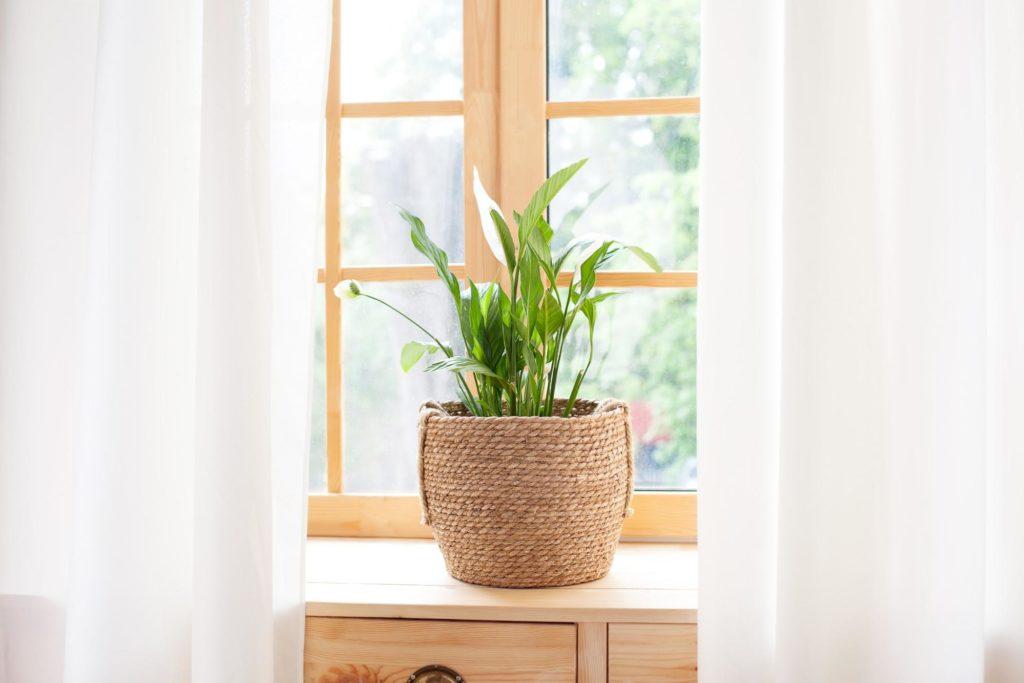 Un spathiphyllum dans un panier en corde sur le rebord d'une fenêtre